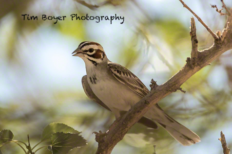 Lark Sparrow at the Ginko State Park in Vantage. We saw several and some had food they were carrying to chicks.