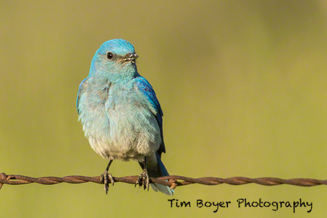Day one was all about Western & Mountain Bluebirds. This Mountain Bluebird was very attentive to the chicks in the nest box. He made about 3 times the trips with food than the female.