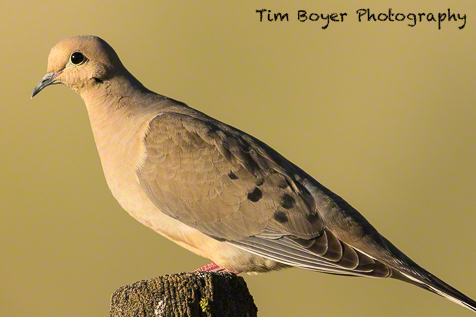 First shot of the two-day workshop. Beautiful light on this Mourning Dove.