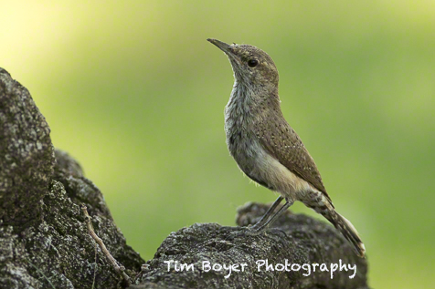 Rock Wren not on rocks but at the base of one of the large trees in the park.