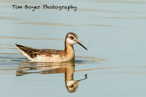 Wilson's Phalarope at County Line Ponds. For some reason, there are no American Avocets at the ponds but there were more Wilson's Phalaropes then I've seen there before.