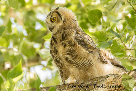Young Great-horned Owl