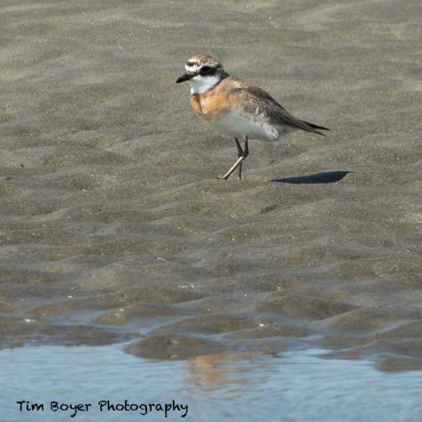 Lesser Sadn Plover found on the outer coast of Ocean Shores near teh  Quinault Casino on Aug. 16th, 2015.