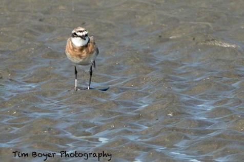 Lesser Sand Plover-8128