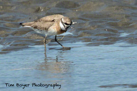 Lesser Sand Plover feeding on a marine worm.