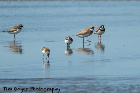 Lesser Sand Plover with Semipalmated Plovers and Western Sandpiper