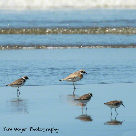 Size comparison Lesser Sand Plover with Western Sandpipers and Semipalmated Plovers.