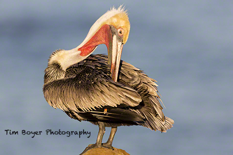 A breeding plumage Brown Pelican preens while resting on the cliffs in La Jolla, San Diego County.