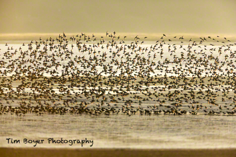 Shorebirds in flight as the tide moves in and closes the low-tide feeding session.