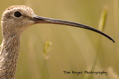 The long bill of the Long-billed Curlew.