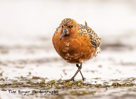 Red Knots stop over in Grays Harbor to find fuel for their next leg of migration. Without the abundant food supply of the harbor many shorebirds will not have einough food to finsih their migration, or be under nourished and won't survive the first few weeks in the Arctic breeding grounds.