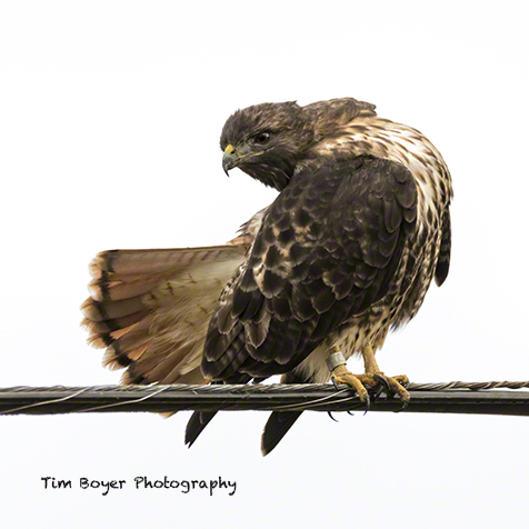 A Red-tailed Hawk preens on a wire on the Skagit Flats.