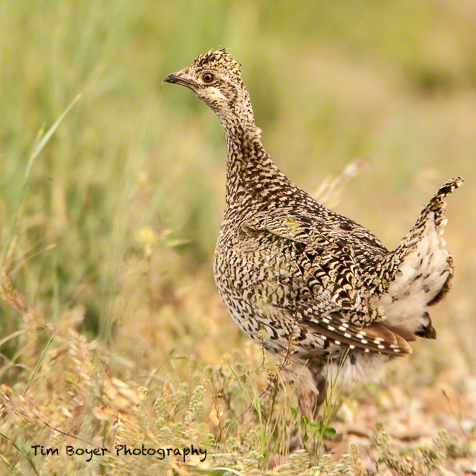 A Sharp-tailed Grouse walking along the side of the road.