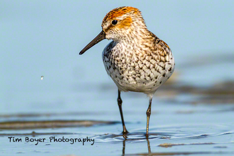 A Western Sandpiper in breeding plumage searching for vital food so it can refuel itself and continue the last leg of it's migration to the Arctic.
