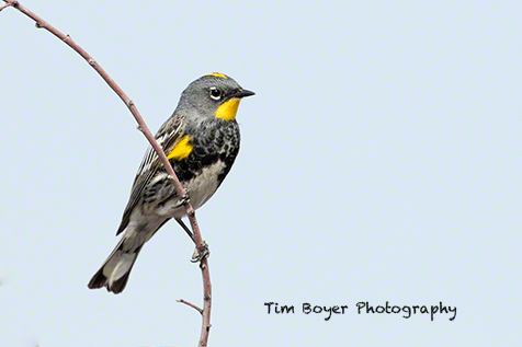 In the spring, a huge variety of songbirds migrate thorugh the refuge, and migrate traps like the Malheur NWR Headquarters site arrtact them.