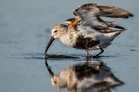 A feeding Dunlin in breeding plumage raises its wings to keep its balance when a small wave comes in.