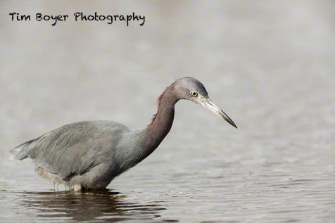 Little Blue Heron fishing.