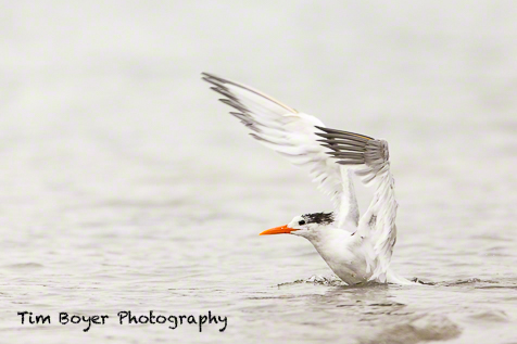Royal Tern on a foggy morning at Crown Point. 1/1250 of a second at f/4 and ISO 500, with the Canon 5D Mark III and a 600mm lens.