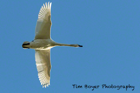 Trumpter Swan flying directly overhead.  1/1800 of a second, f/6.3 and ISO 400 with the Canon 7D Mark ii at 150 mm.