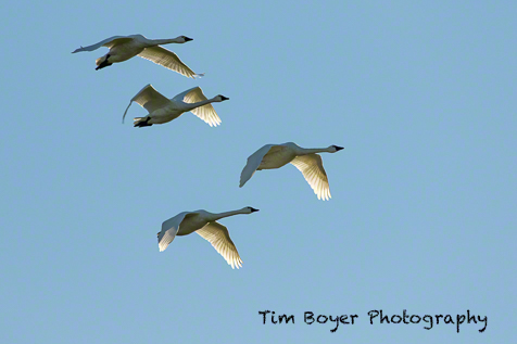 Tundra Swans 1/1000 of a second, f/8 at ISO 250 at 400 mm with the Canon 7D Mark II.