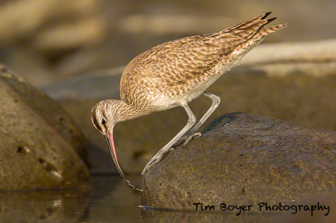 Whimbrel finding dinner on the rocks. 1/640 of a second at f/8 and ISO 800 with the Canon 5D Mark III and the 600 mm lens and a 1.4 Extender.