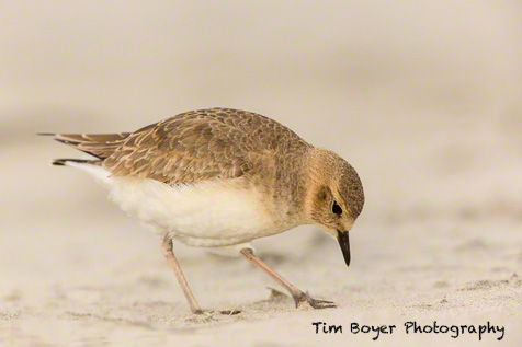 Mountain Plover at 1/125 of a second, f/5.6 adn ISO 5000 with the Canon 5D Mark III and a 600 mm lens.