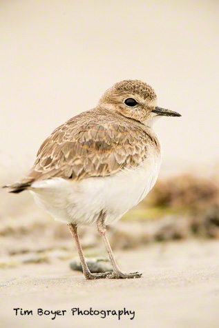 Mountain Plover 1/200 of a second at f/5.6 and ISO 640. Canon 5D Mark III and a 600 mm lens and a 1.4 Extender and a 25 mm Extension Tube.