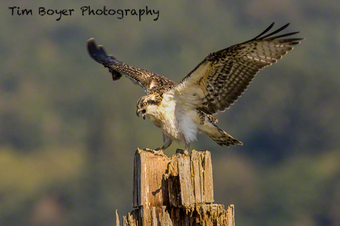A juvenile Osprey is strecting and practicing flaping its wings.