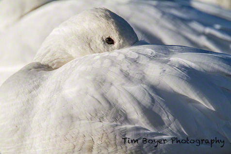 Snow Goose - 1/320 of a second, f/9 at ISO 200 Canon 7D at 600mm with the 1.4 Extender