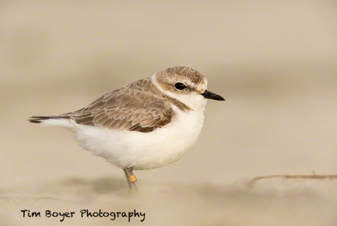 Snowy Plover, 1/200 of a second at f/5.6 and ISO 500. Canon 5D mark III with a 600 mm lens a 1.4 Extender and a 25 mm Extension Tube.