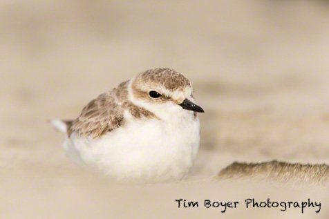 Snowy Plover - 1/80 of a second, f/5.6 at ISO 640, Canon 5D mark III, 600 mm lens and 1.4 Extender, with the CTO gel and falsh Extender on the Canon 580 EX II.