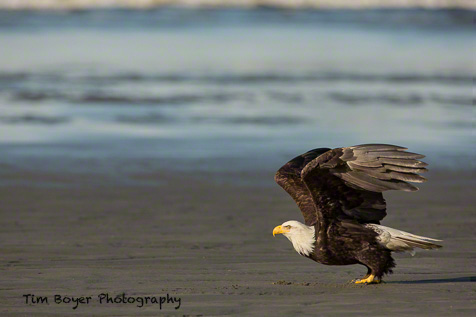 The eagle is starting to take off, so I how down the shutter release and send a burst of three or four shots off.