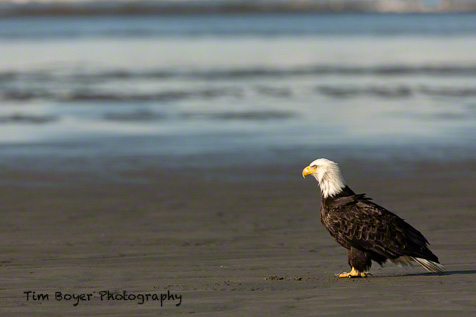 I took the 1.4 Extender off and am now shoot with just the 600 mm lens and placed the focus points on the eagle.