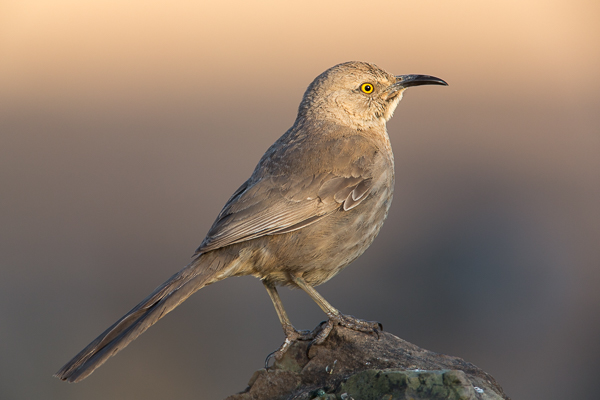 A Curved-billed Thrasher at 6:21 AM.