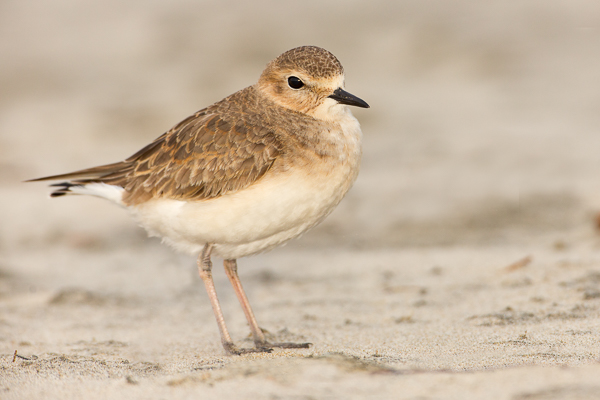 The ground level view of a Mountian Plover.