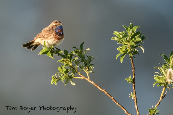 Bluethroat-4547.jpg