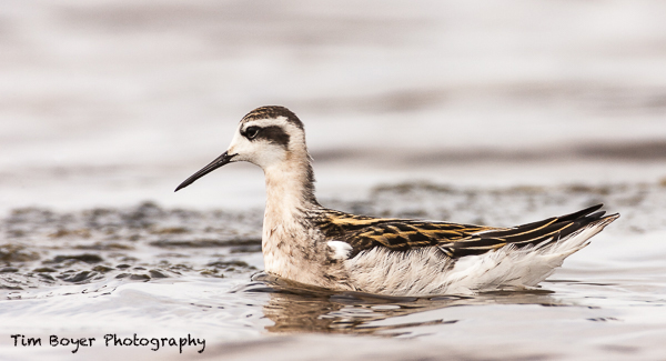 Molting-Red-necked-Phalarope-.jpg
