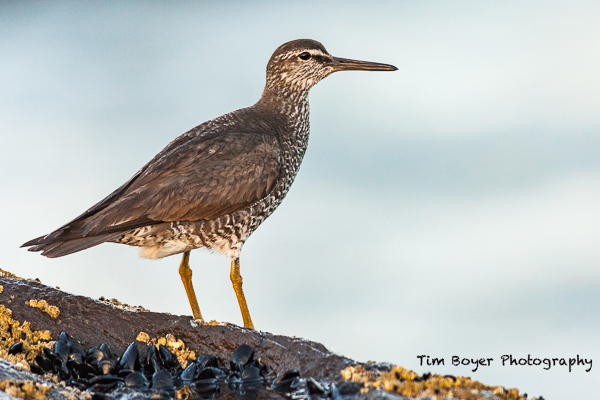 Wandering-Tattler-Adult-July-2907.jpg