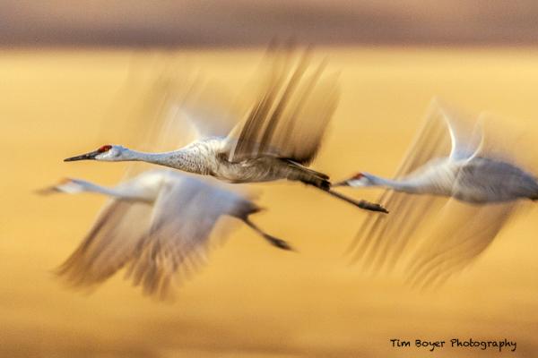 Sandhill-Cranes-Evening-Flight-.jpg
