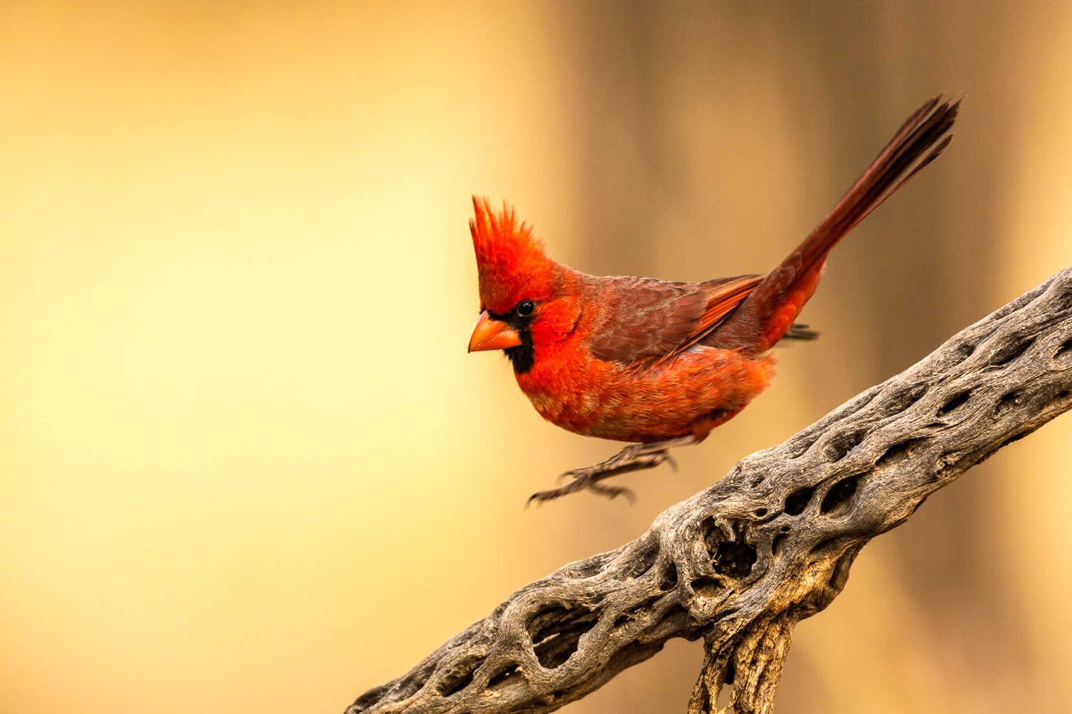 Northern Cardinal -This image was selected as one of the top 250 images in the 2015 North American Nature Photography Association's Showcase Competition.