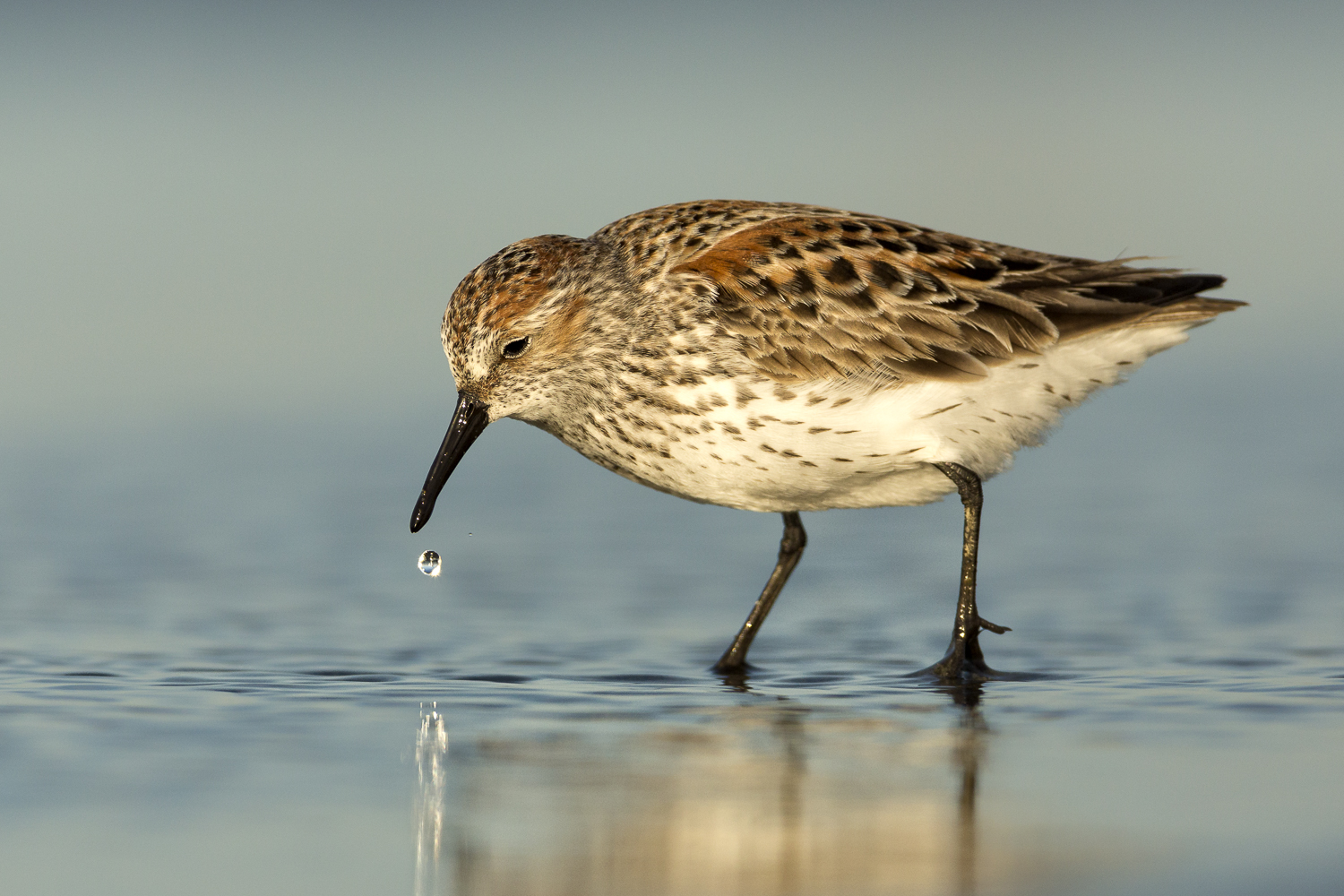 Western Sandpiper from Grays Harbor the most important shorebird stop over site out side of Alaska on the West Coast