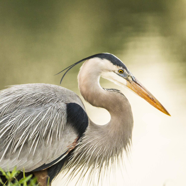 Great Blue Heron-4534.jpg