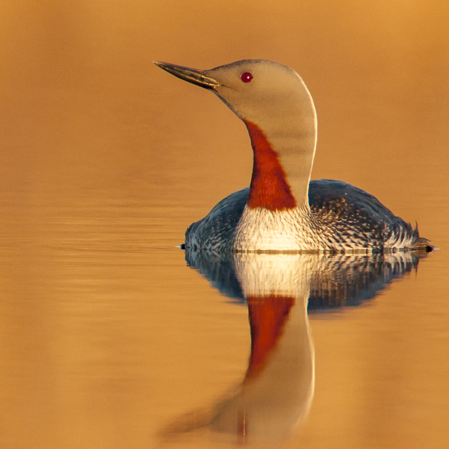 Red-throated Loon-.jpg