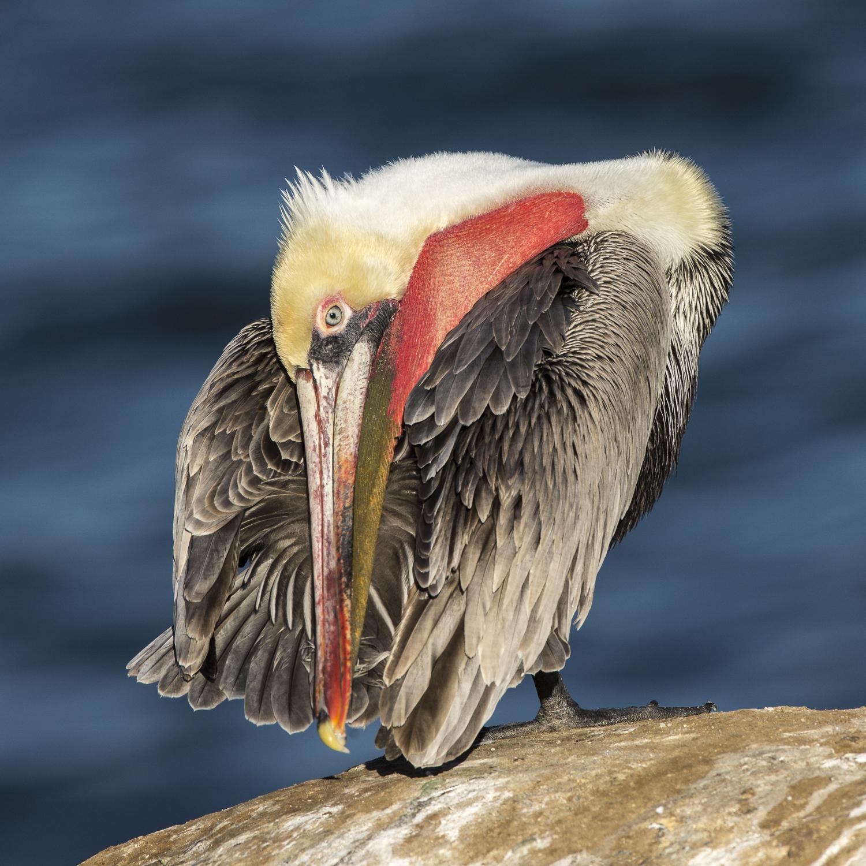 Brown Pelican-8023.jpg
