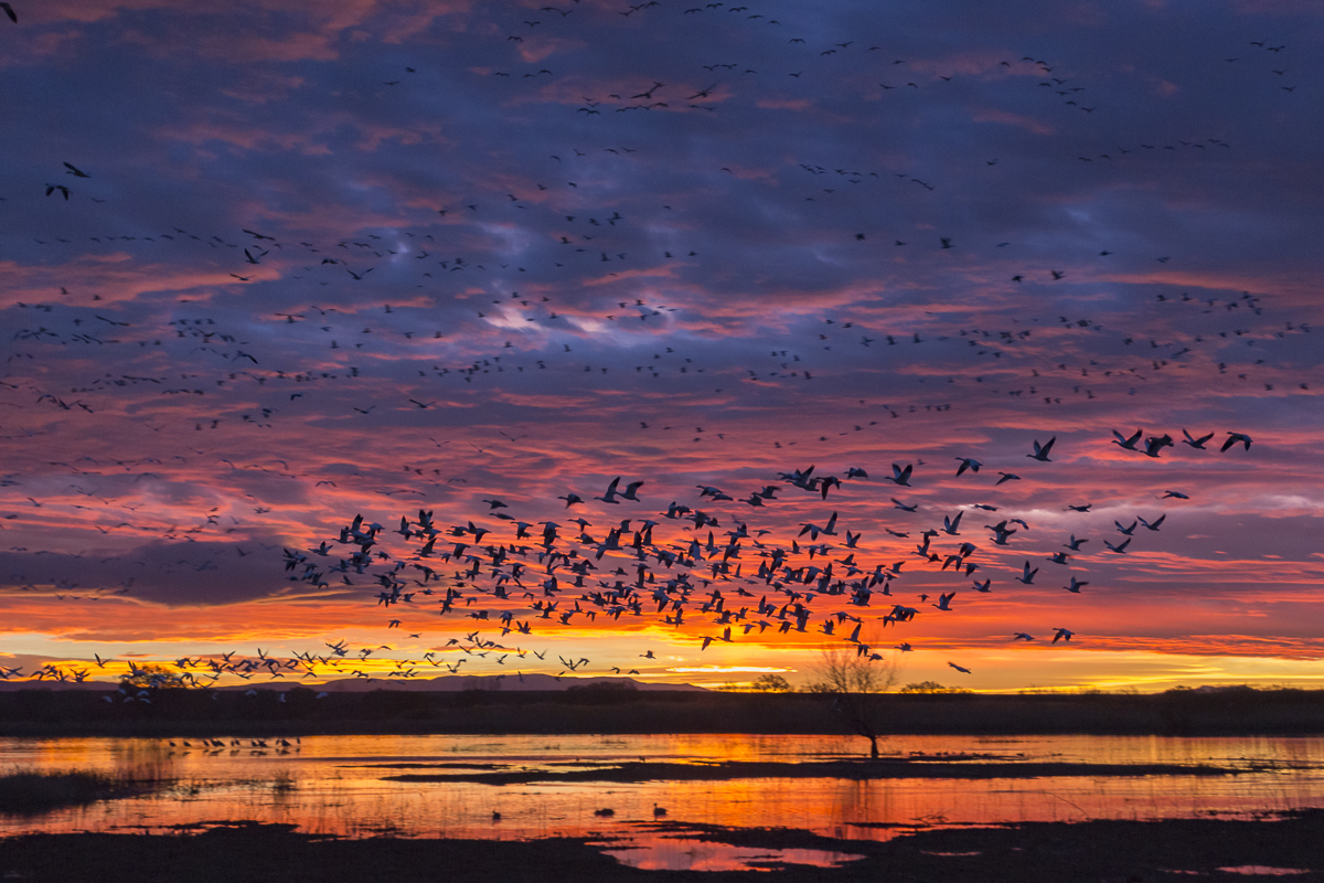Snow Geese blasting off at sunrise.