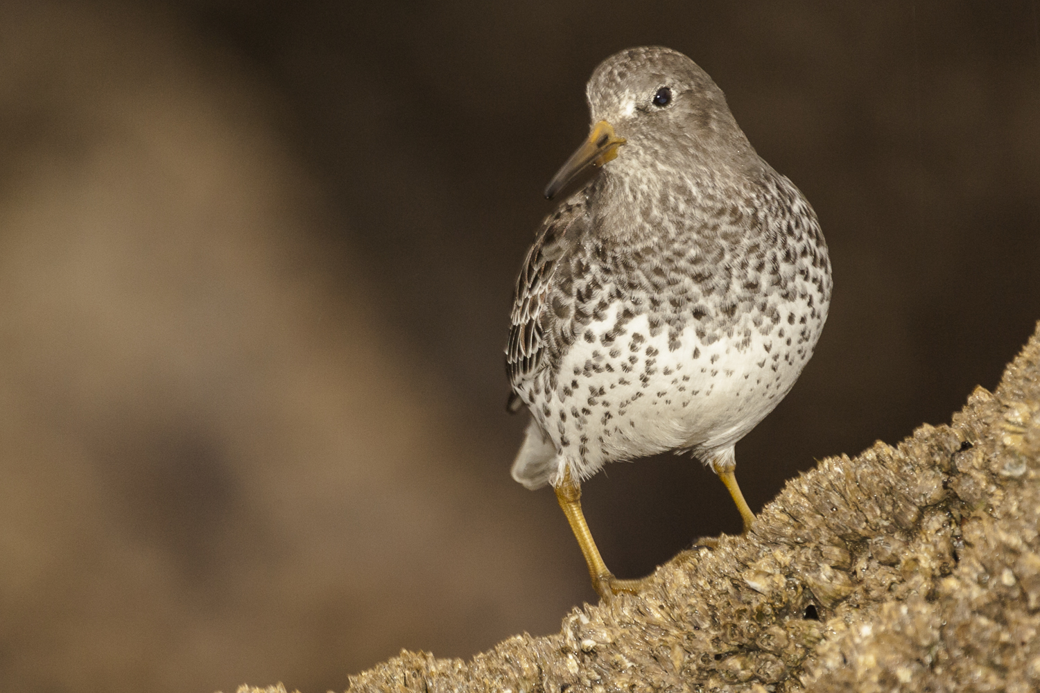Rock Sandpiper taken with Fill Flash