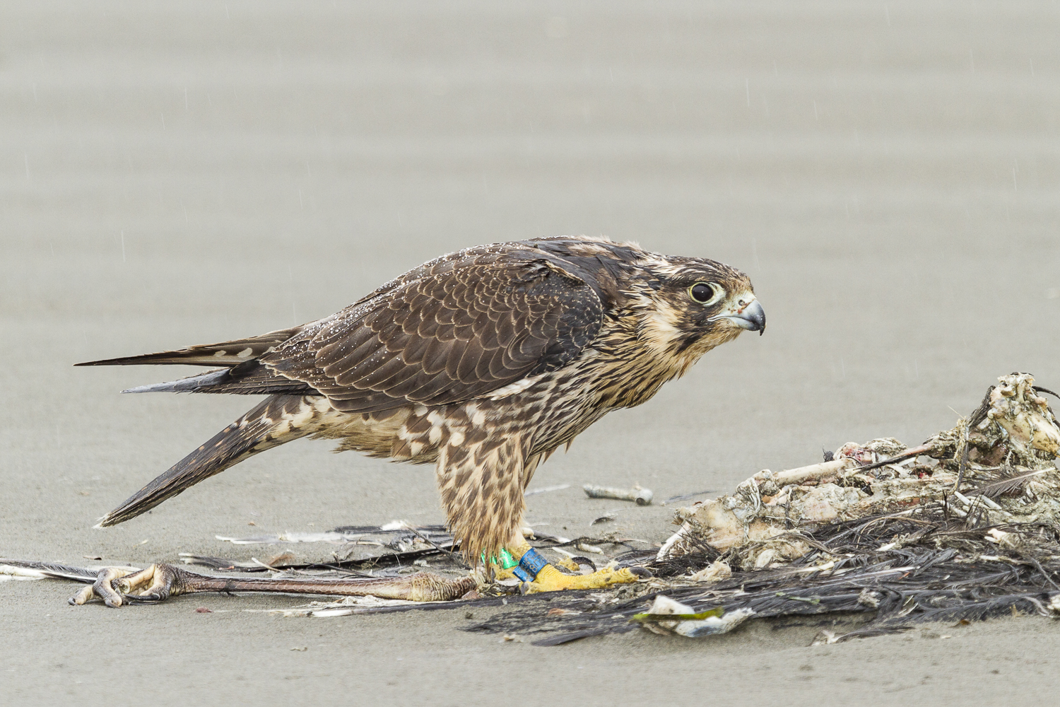 Peregrine Falcon in the rain, taken with Fill Flash and a CTO gel