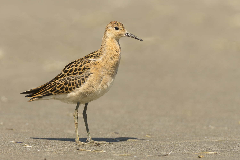 Juvenile Ruff, Ocean Shores, WA August 21, 2014.