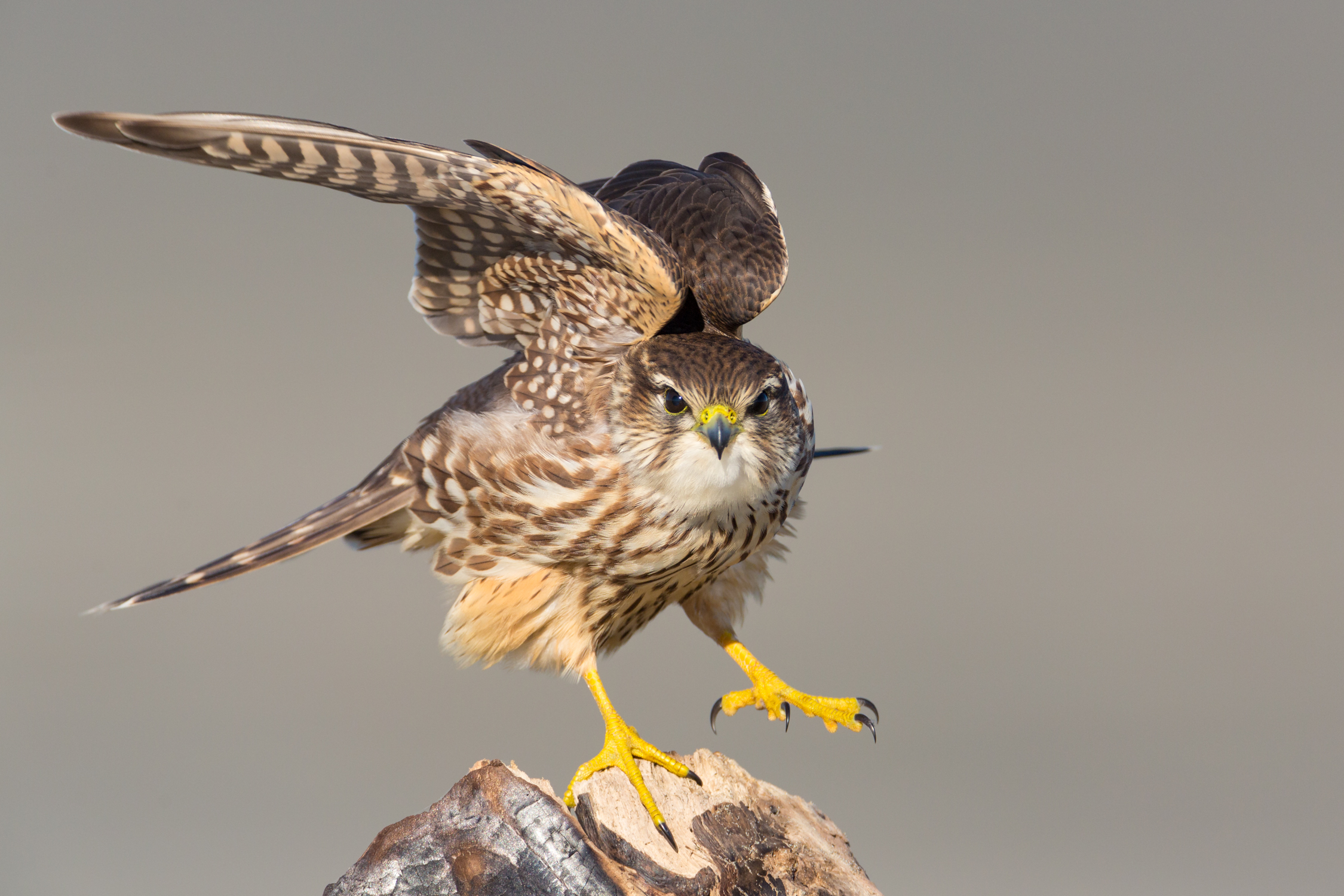 Merlin doing a wing stretch or a happy dance?