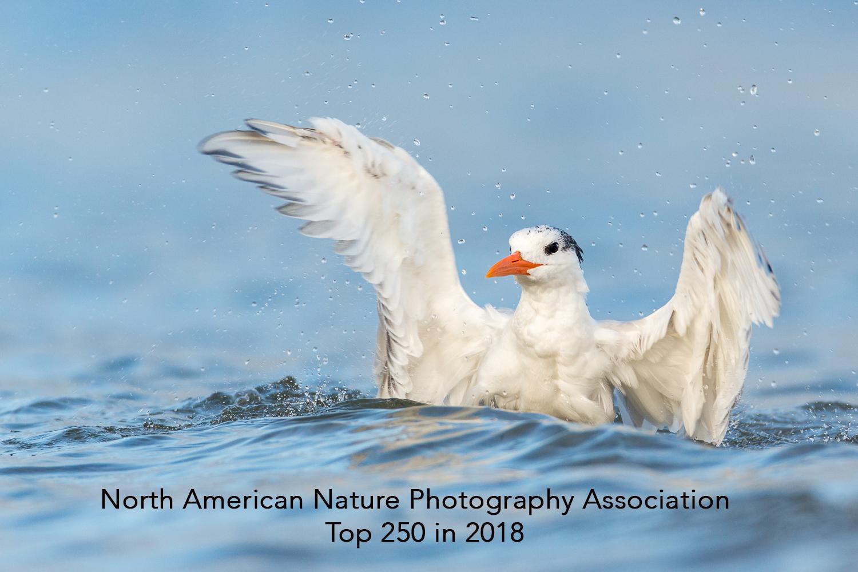 Royal Tern-4895.jpg